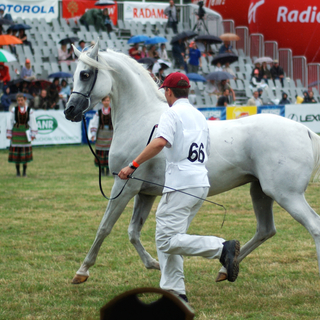 A horse at the Pride of Poland show in Janów Podlaski